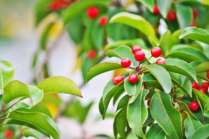 科名:モチノキ科 分類:常緑高木 ソヨゴは光沢のある丸みを帯びた葉がきれいな常緑高木です。冬にはグリーンの葉の間に赤い実を付けます。葉の密度も高く、目隠しにも向いています。