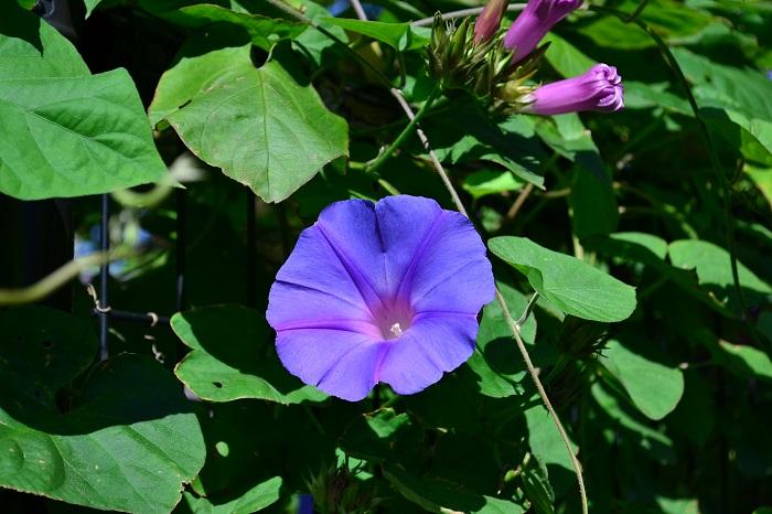 アサガオはたくさんの品種が流通しています。西洋アサガオ系の「ヘブンリーブルー」は8月から晩秋まで開花し続けます。グリーンカーテンの材料としても人気です。  中には矮性種もありますがほとんどはツル性です。青、紫系だけでもとてもたくさんの種類があるので、好みの色あいをセレクトしてみては。