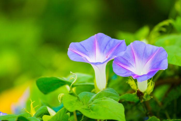科名:ヒルガオ科 分類:つる性一年草 朝顔は日本の夏を代表するつる植物です。早朝に開花し、昼には閉じてしまいます。朝顔の花色は多様で、目の覚めるような濃い紫もあれば、桜を思わせるようなピンク色、また目に涼やかな水色などもあります。何色かの朝顔を混植して、色のグラデーションを楽しむのも素敵です。朝顔の花が見たくて、早起きするようになるかもしれません。