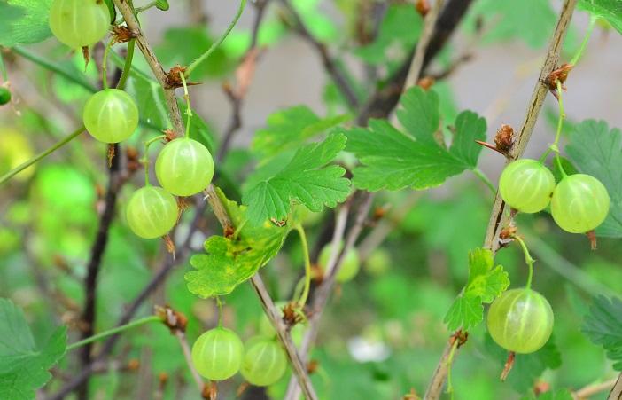 セイヨウスグリは初夏に赤やグリーンの果実をつけます。ヨーロッパや北アメリカで盛んに栽培されています。