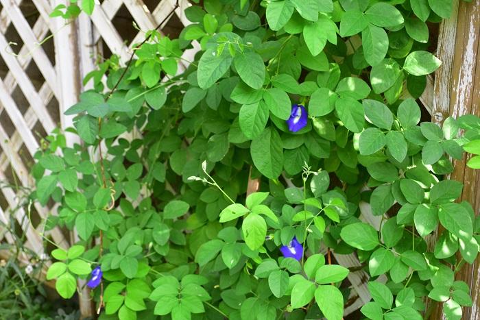 バタフライピーはツル性植物で、1~3mくらいほどに生長します。このツル性であることと、夏の暑さに強いことを生かして、夏のグリーンカーテンとして楽しむこともできます。