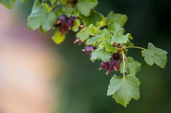 学名:Ribes nigrum 英名:Black currant 仏名:Cassis クロフサスグリは初夏に真黒な果実を実らせるスグリです。クロフサスグリの光沢のある真黒な果実は、まるでオニキスのようです。