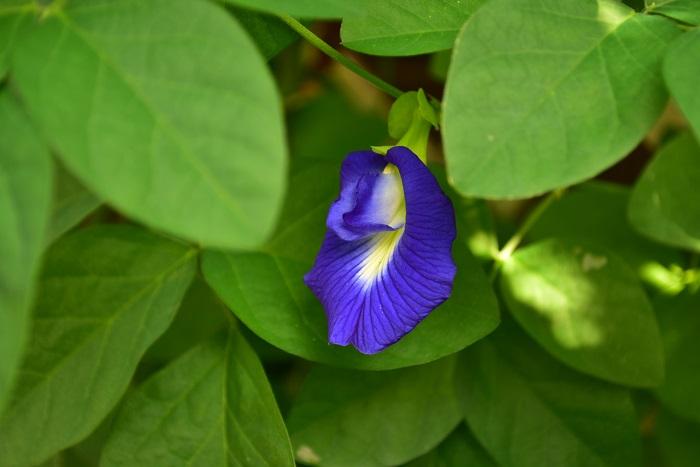 6月から9月までの長い期間開花します。日によって花が多い日と少ない日があります。バタフライピーの花は一日花なので、花をお茶などに使用したい場合はその日、その日で摘み取っていきます。フレッシュで使いきれない場合は、天日干しで乾燥させると保存可能です。