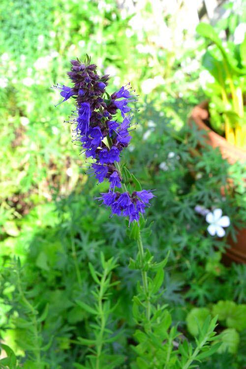 ヒソップは、ヤナギハッカの名前を持つミントに似た香りがするシソ科のハーブ。花の色は、紫、ピンク、白があり、6月頃から秋までの長期間花が開花します。暑さ、寒さにも強く、一度庭や花壇に植えたら毎年花を楽しめる宿根草です。