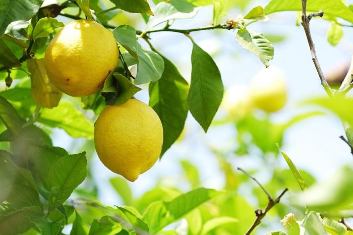 科名:ミカン科 分類:常緑低木 レモンは香りのよい黄色の果実をつける常緑低木です。低木と言っても2~3m程度まで大きくなります。風にも耐える力も強く、実もよく付けるので人気の庭木です。