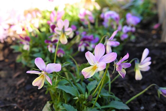 ビオラは秋に植えて春まで咲き続けてくれる、冬のガーデニングの強い味方です。花色が豊富なのも魅力です。植え付け時は小さな苗でもぐんぐん株が生長するので、しっかりとスペースを確保して植え付けましょう。
