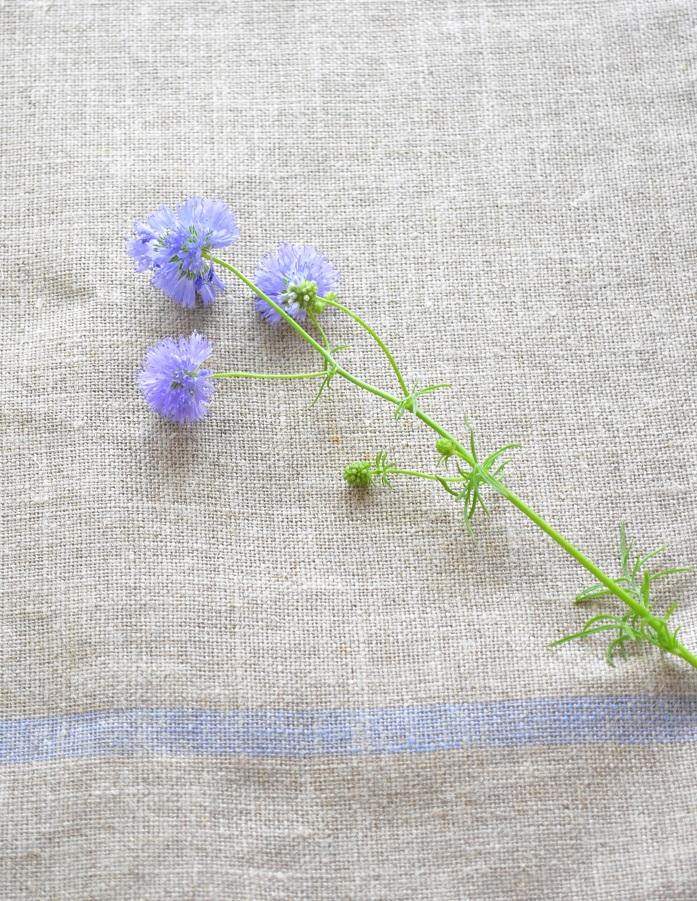 下の方には小さなつぼみがついています。かわいいですね。  流通の進歩と育ててくれる生産者さんがいるので、最近はギリアのような草花も花屋さんに並ぶようになりました。  小さな花なので目立たないですが、次に花屋さんに寄ったら草花にもご注目を。