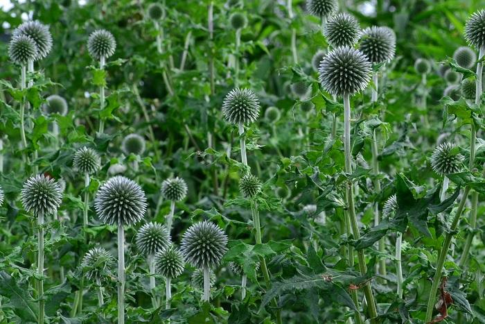 まっすぐに伸びた茎の上に丸いボール状の青い花を咲かせるルリタマアザミ。フォルムの面白さが花壇に植えると目を引きます。品種によって背丈は様々ですが、高性のものは広い空間に植栽すると涼し気な印象を演出できます。