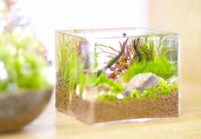 私が師事する水草研究の第一人者、国立科学博物館の田中法生先生の定義では水草は「陸上から水中へ逆戻りの進化をした植物で、一定期間葉や茎の一部が水中にあるか、または水面に浮いている植物」と説明されています。  12億年前に植物が水中で誕生して進化を経て、5億年ほど前に陸上への進出が起こりました。ところがせっかく陸に上がったのに、また水中へ進出した植物が水草と呼ばれる仲間です。動物で例えるならば「クジラ」の存在が水草ということになります。ちなみに皆さんにお馴染みの一見水草と思われるワカメやコンブなどは実は水草ではなく、藻類ということになります。  完全に水の中で生活している水草。例えば、金魚藻として知られているカボンバやアナカリス(オオカナダモ)、メダカの産卵床に便利なホテイソウ、食べても美味しいジュンサイは一見して水草とわかります。その他、お米を作るための稲や穂が特徴的なガマも草体の一部が常に水中にあるため水草となります。さらに海のゆりかごアマモも水草の仲間です。日本は水資源が豊で稲作やため池、湧き水が多くみられることから水草には住み良い国の一つだと言えるでしょう。