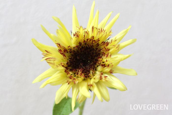 照りつける夏の太陽のように、鮮やかに咲き誇るヒマワリ。夏を代表する花のひとつです。  夏は水が汚れやすいので、葉が水に入らないようにしてください。また、こまめに切り戻しを行い、水は毎日かえましょう。  外泊等で毎日水をかえられない場合は切り花延命剤を使用するのがおすすめです。