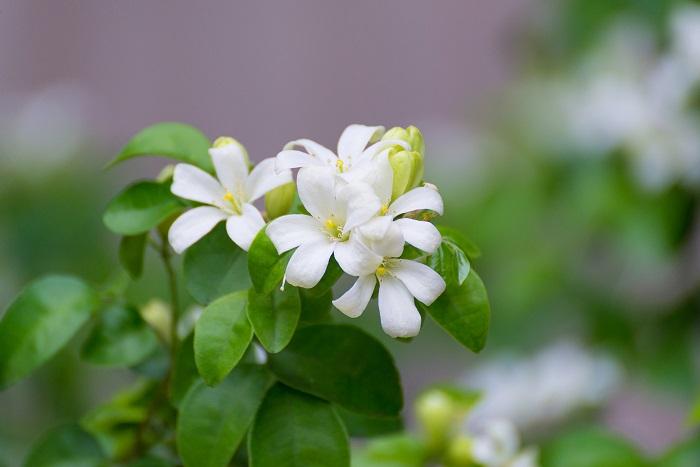 開花期:4~6月 分類:常緑高木 樹高:3m シルクジャスミン(ゲッキツ)の特徴 シルクジャスミン(ゲッキツ)は観葉植物としても人気の常緑高木です。温帯を好むので関東以西では庭植えが可能です。シルクジャスミン(ゲッキツ)は春に香りのよい白い花を咲かせます。