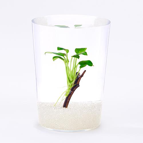 陰性植物であり、その中でも最も丈夫な種類の一つ。サトイモ科の仲間で生長が緩やか。着生する性質が強く地面に直に植えるより流木や石などに固定して育てたい。