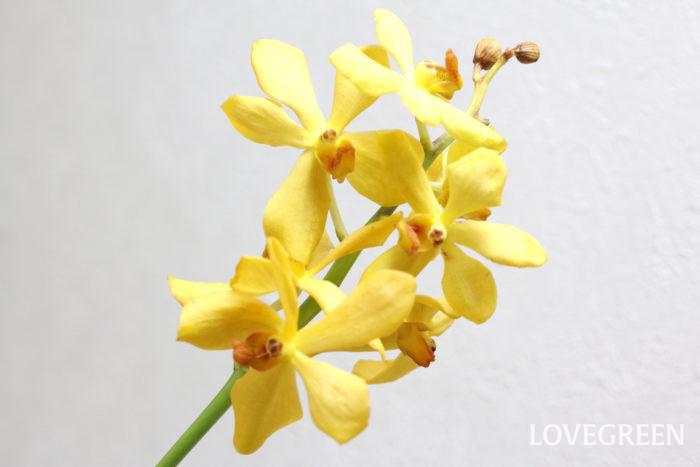 南国生まれのトロピカルフラワー。3種のランをかけ合わせてできた花で、日持ちの良さも魅力のひとつ。  モカラが傷んでくるのは下の花から。花が傷んでしまった場合は、ハサミでカットします。綺麗な状態で楽しむ為にもこまめにお手入れしましょう。お花屋さんで購入する際は下の花にハリがあり、頂点の花に黒ずみがないものがおすすめ。