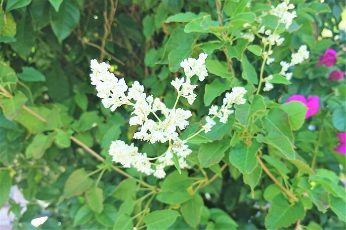 ナツユキカズラ 開花期:6~8月 分類:落葉低木 樹高:2m以上 ナツユキカズラの特徴 ナツユキカズラは夏に白い花を咲かせる、つる性落葉低木です。ナツユキカズラは花付きがよく、ラティスやトレリスに絡ませると一面真白に咲き誇ります。強健で育てやすい庭木です。