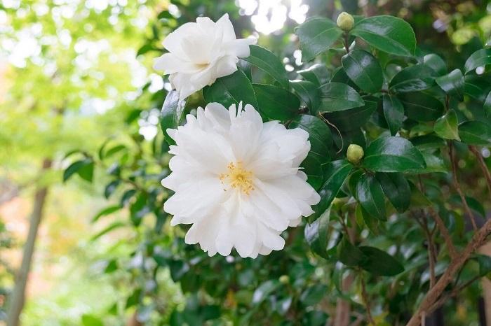 開花期:10~3月 分類:常緑高木 樹高:2~5m サザンカの特徴 椿を小ぶりにしたような花姿が可愛らしいサザンカ。サザンカの花は秋から厳寒期を休んで春まで咲き続けます。放っておくと高木になりますが、短く仕立てて生垣にも利用されます。