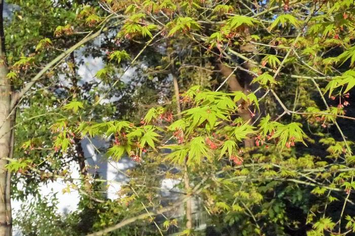 もみじのような落葉樹は冬の休眠期に樹形を整えるための剪定を行います。休眠期以外に伸びすぎた枝を切り戻すのは6月頃に行います。夏はもみじにとって生長期であり、この時期に大きく剪定を行うと樹木に負担をかけることになります。