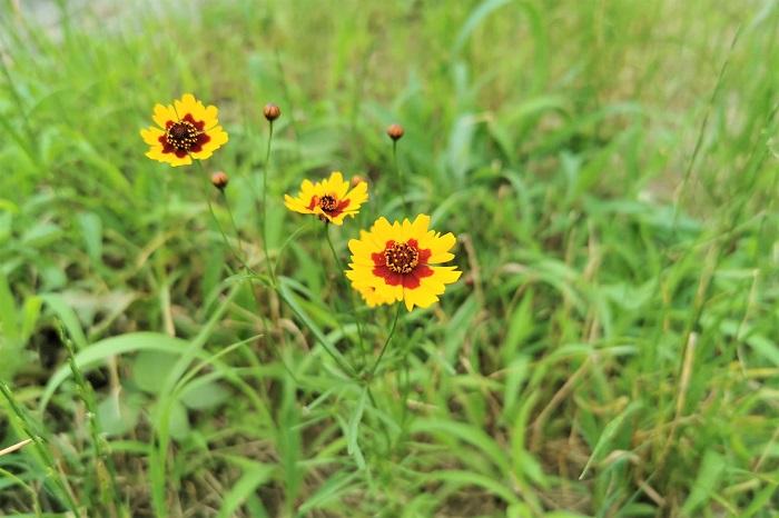 科名:キク科 開花期:6~9月 分類:一年草 ハルシャギクは、元は園芸植物として日本に入ってきましたが、すっかり野生化してしまったキク科の一年草です。山吹色のようなオレンジ色のコスモスに似た花を咲かせます。