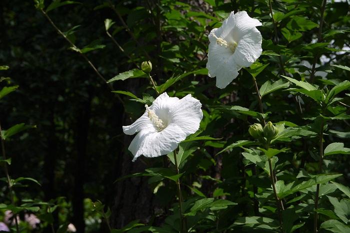 ムクゲ 開花期:6~10月 分類:落葉低木 樹高:1~3m ムクゲの特徴 ムクゲは暑い真夏に毎日のように花を咲かせる庭木です。ムクゲの花色は白の他にピンクや紫があります。