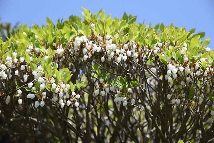 開花期:4~5月 分類:落葉低木 樹高:2~5m ドウダンツツジの特徴 ドウダンツツジは春の花、夏の新緑、秋の紅葉と一年を通して美しい姿を見せてくれる庭木です。春にスズランのような小さな可愛らしい花が咲きます。丈夫で育てやすいため、生垣にも好まれます。