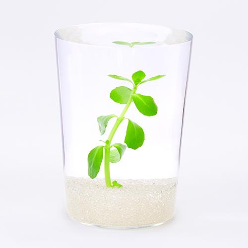 多くの水草が一般的に流通する以前、少なくとも30年前にはすでに日本では売られていたであろう水草。多くの環境に適応でき、まっすぐに生長する草姿はグラスでも使用しやすい。数本をそろえて植えると、美しく見ごたえがある。