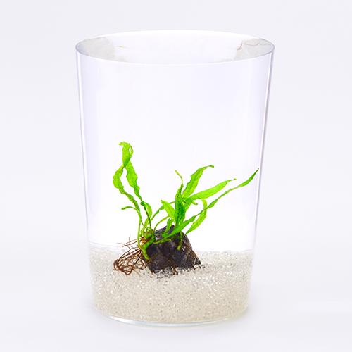 水中での育成ができるシダ植物。物に着生して生長するため、川にある苔とシダで覆われた石のような演出もできる。丈夫な種類ではあるが、水がよどむと調子が悪くなることもあるため、定期的な換水はしっかりと。