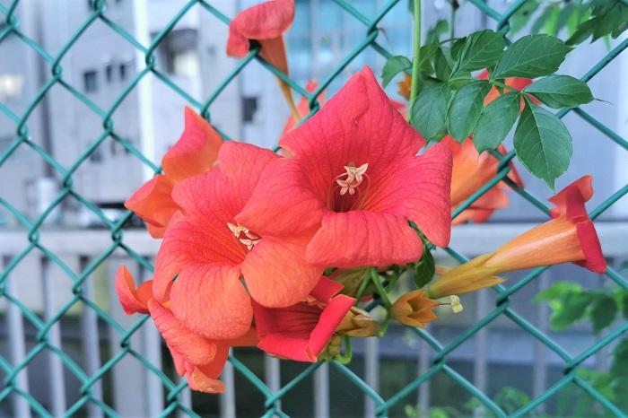暑い夏の盛り、太陽に負けないくらい明るいオレンジや赤の花を咲かせるノウゼンカズラ。ノウゼンカズラの花は真っ青な空によく似合います。  枝いっぱいに溢れるように咲き誇るノウゼンカズラを育ててみませんか。ノウゼンカズラの魅力を知って、もっと可愛がってあげてください。