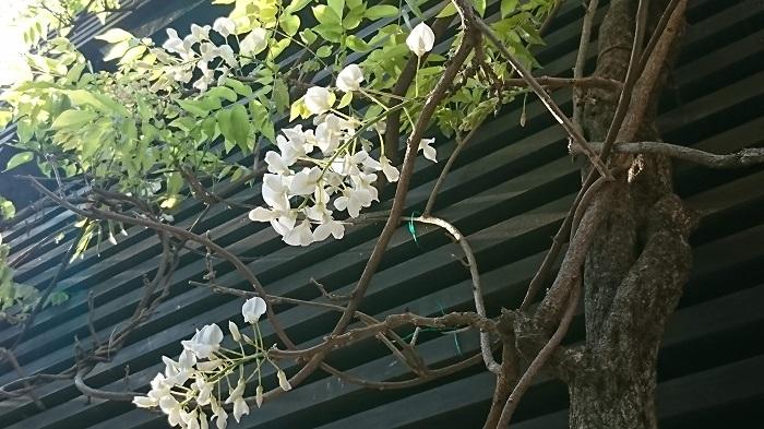 開花期:4~5月 分類:落葉つる性木本 樹高:3~5m 藤の特徴 藤は春に大ぶりなかんざしのような花を咲かせるつる性の樹木です。ソメイヨシノの花が終わった頃からゴールデンウィークくらいまで咲き続けます。小さな豆の花の集合体のような花が印象的です。藤の花には芳香があります。