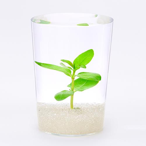 数ある有茎水草の中で、古くから親しまれている種類。とても丈夫で育てやすいため初心者さんにもおすすめ。グラスの中では大きく感じる沈水の葉だが、はじめに植える水草としては扱いやすい。