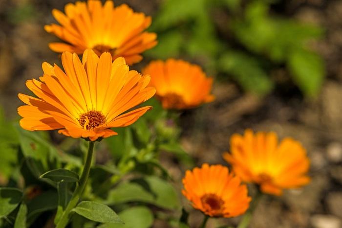科名:キク科 開花期:12~5月 分類:一年草、多年草 キンセンカは冬の間から春まで咲き続けるキク科の花です。黄色やオレンジ色の明るい色の花が冬の花壇を賑やかにしてくれます。