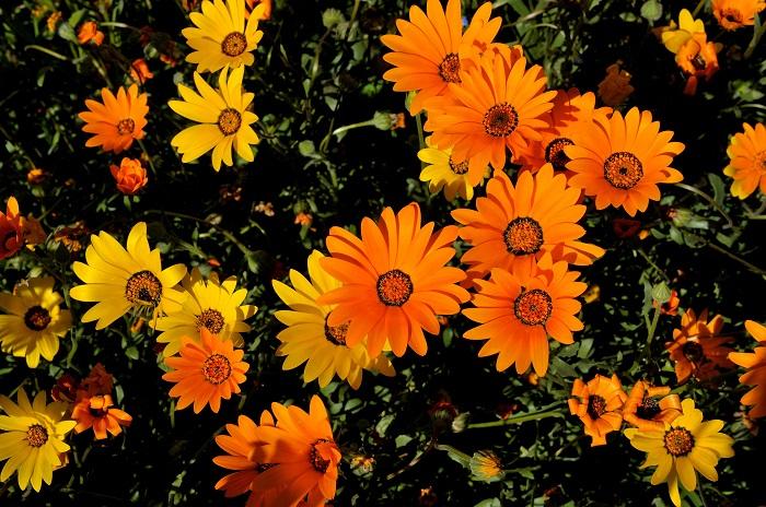 ディモルフォセカ科名:キク科 開花期:2~6月 分類:一年草 ディモルフォセカは早春から初夏まで、オレンジ色や黄色のガーベラのような花を咲かせ続ける花期の長い一年草です。