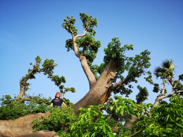 また写真にてお気づきだと思うが、このバオバブ。倒れていても葉をしっかり出している。そのため倒れて間もないのかなとも思ったが、枝葉が垂直方向に延びているので、倒れながらも成長しているのが伺える。それは樹が持つ貯えた栄養によるものか、倒れながらも根をはり、生きている姿なのか、再び訪れて確認をしたいと思った。いずれにしてもその生命力は感動的である。
