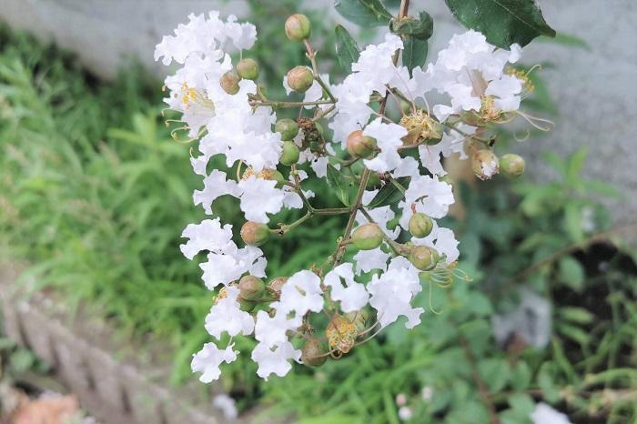 開花期:7~9月 分類:落葉高木 樹高:5~10m サルスベリの特徴 サルスベリは夏に涼し気な色の花を咲かせる落葉高木です。サルスベリの花色は白の他にピンクや紫があります。強健で花付きもよいので庭木の他、公園や街路樹としても人気の樹木です。