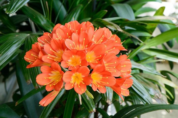 科名:ヒガンバナ科 開花期:3~5月 分類:多年草 クンシランは春にオレンジ色の花を咲かせるヒガンバナ科の植物です。名前にランとつきますが、ランの仲間ではありません。