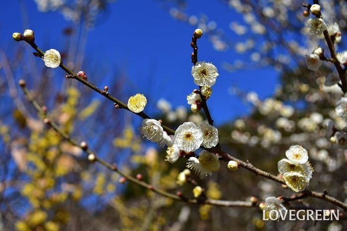 開花期:2~3月 分類:落葉高木 樹高:3~5m 梅の特徴 梅は早春に香りのよい花を咲かせる庭木です。梅の花色は白の他にピンクや赤などがあります。梅には花を観賞する花梅と果実を楽しむ実梅があります。初夏に結実する果実は梅干しや梅酒にされます。