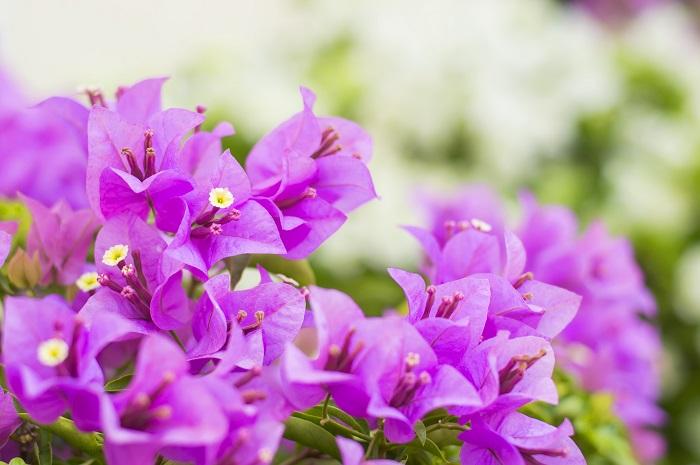 植物名:ブーゲンビリア 学名:Bougainvillea 科名:オシロイバナ科 属名:ブーゲンビリア(イカダカズラ)属 分類:木本性つる植物 ブーゲンビリアの特徴