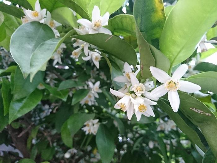 開花期:5~6月 分類:常緑低木 樹高:1~3m ナツミカンの特徴 ナツミカンを始めミカンの仲間は初夏に真白な花を咲かせます。花には芳香があります。ミカンの仲間の花の香りはネロリという名前で香料にもされています。