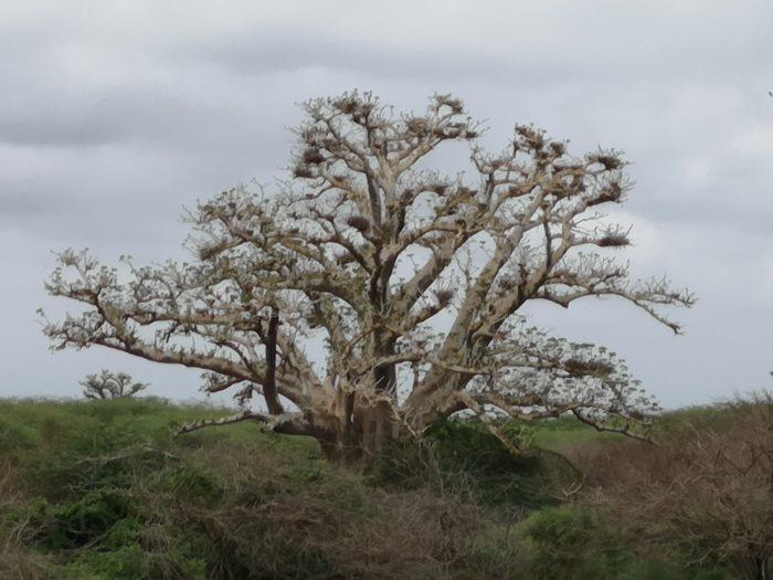 その他にも写真のようなバオバブを見かけることができた。地元の人は「白いバオバブ」と呼んでおり、とても興味深かったが、立ち入り禁止区域のため、近くには寄れなかったので残念である。  確かに木肌はコンクリートのように白っぽい。しかし同地区のバオバブはほとんど葉があるのに、このバオバブは葉がない。枯れているのでは?と想像がつく。実際に生命力をあまり感じない。  しかし100%枯れているとは言えない要素は、バオバブは個体によって葉を落とす時期が異なり、隣同士の樹であっても、まったく違うことである。それとバオバブは水分を多く含む多肉植物のような樹のため枯れると、ドライフラワーのようにならず、しぼんだり腐ったりすると思われるので、あのようにしっかり立っているのは中々想像し難い。  これもまた次回機会があれば、立ち入り許可を取得し、実際に近くで見たいものである。それにしてもこのふたつのバオバブから倒れても起き上がる。灰になってもまだ立ちつくす姿。まるであしたのジョーの世界である。その世代で育った私にはことさら大きな感動を得ることができた。  また家になったり、お墓になったり、食料になったり、セネガルにおいてバオバブは本当に人々と密接にかかわっているのだということを知ることができたり、色んなことを学んだりすることができた。まさにバオバブは文字を書けないが、その姿で多くを語り継ぐ「グリオ(かたりべ)」であると実感した。