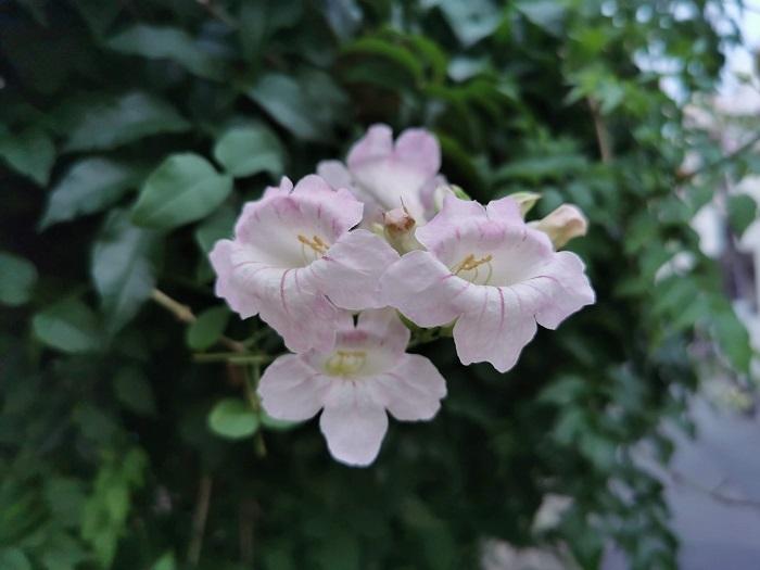 学名:Podranea ricasoliana ピンクノウゼンカズラはノウゼンカズラ科パンドレア属のつる植物です。ノウゼンカズラに似たピンク色の花を咲かせることから、ピンクノウゼンカズラという名前で流通しています。明るく優しいピンク色が可愛らしい花です。