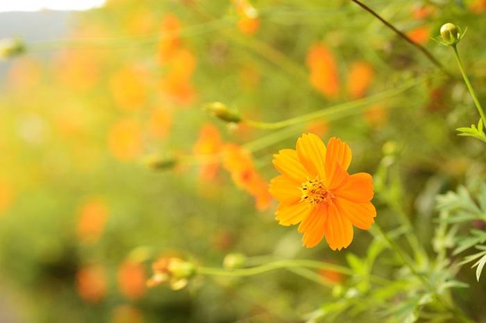 科名:キク科 開花期:7~10月 分類:一年草 キバナコスモスはコスモスによく似たオレンジ色や黄色の花を咲かせる草花です。コスモスよりも一足早く、夏の間から咲き始めます。