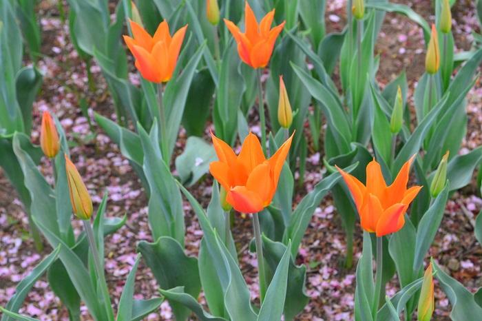 科名:ユリ科 開花期:3~5月 分類:多年草(球根植物) チューリップは春を代表するような球根植物です。秋に植えた球根が春に開花します。花色、咲き方共にバリエーションに富んでいます。
