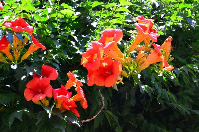 ノウゼンカズラは植えてはいけない、という話を耳にします。ノウゼンカズラを植えてはいけないと言われている理由と、上手な植え方や注意点を紹介します。