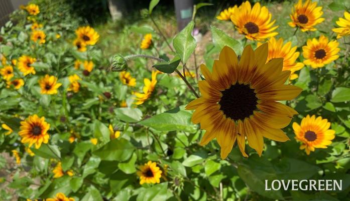 科名:キク科 開花期:7~9月 分類:一年草 ひまわりは夏を代表するような大きな花です。大きなものは人間の背丈を越すくらいまで生長します。ひまわりの花色は黄色の他にオレンジや茶、複色等があります。