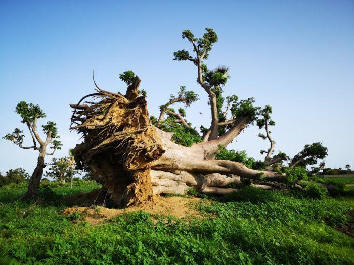 となれば、サイクロンのようなかなり大きな嵐がやってきて強風で倒れたかとも考えられるが、周りの状況や地元の人に聞く限りそうでもないようだ。また落雷による倒壊も見かけたことがあるが、その場合は焼けた跡など大きな損傷が見られるのでそのようなことはない。  となると考えられるのは、もともとこの地はバオバブに適した乾湿がはっきりしていた土地であったが、そこの人が畑などを作ることで常に湿度が保たれていたため、バオバブの根が弱り、自重を支えきれなくなり、少しの力が加わっただけで倒れてしまったのかもしれないと推測できる。そうであれば長い年月による村人の農耕や生活様式の変化を読み取れるのではないかとも言える。