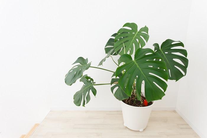 モンステラの切り戻し適期は5~7月です。モンステラの生長期は夏です。初夏に切り戻しを行うと次の芽が生長しやすくなります。葉の付け根から切り取るようにしましょう。モンステラの切り口から垂れてくる液体が皮膚に触れるとかぶれることがあるので、注意してください。