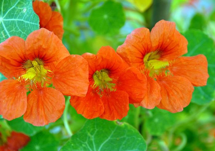 科名:ノウゼンハレン科 開花期:6~11月 分類:一年草 ナスタチウムは初夏から秋までと開花期の長い花です。ナスタチウムは葉も花も食用にできるハーブです。花はエディブルフラワーとしても人気があります。