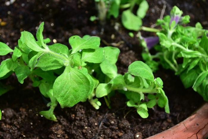 ペチュニアは生長すると草姿が乱れていきます。思い切って大きく切り戻すようにしましょう。1/3くらいまで切り戻してもすぐにわき芽が生長してきます。