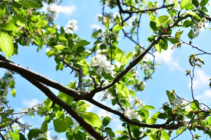 クラブアップルは園芸好きでも名の通った絵本作家、ターシャ・テューダーのお庭にあったことでも有名な果樹です。春に白く桜に似た花を咲かせます。秋に小さなリンゴの実を実らせます。春の純白の清楚な花、秋の実と四季折々の表情を楽しめるシンボルツリーになります。