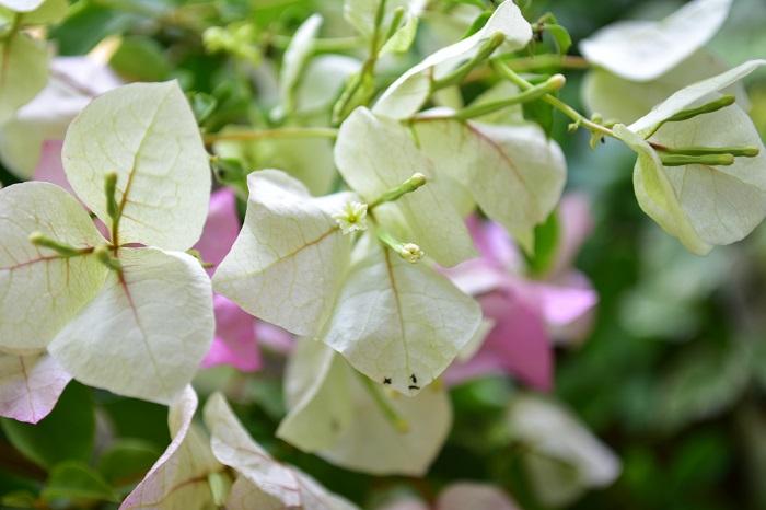 ブーゲンビリアは冬越しと水やりのコツさえマスターすれば、とても育てやすい植物です。比較的耐寒性の強い品種を選べば関東でも庭植えで毎年花を咲かすこともできます。