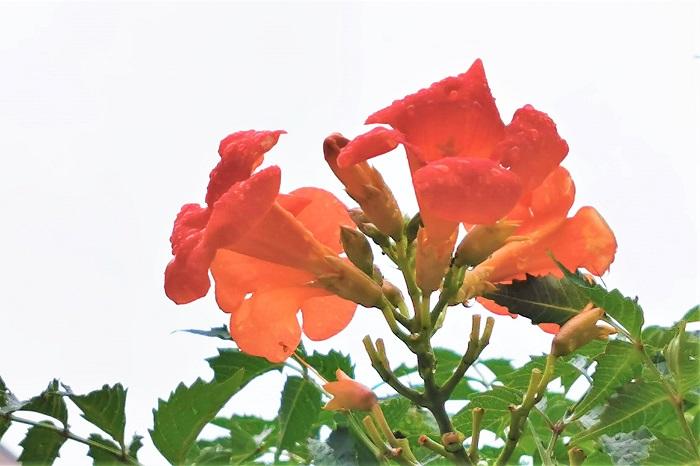 ノウゼンカズラの用土、植え付け ノウゼンカズラは保水性、水はけ、共によい場所を好みます。水はけが悪いようであれば、赤玉土を混ぜ込むなど、土壌改良をしてください。  ノウゼンカズラは一日中日が当たるような場所を好みます。日当たりのよい場所に植え付けましょう。  ノウゼンカズラの水やり ノウゼンカズラの水やりは、植え付け時から根付くまではたっぷりと与えるようにしましょう。根付いてからは夏の乾燥機でも特に水やりの必要はありません。  ノウゼンカズラの肥料 植え付け時に元肥をすき込めば十分です。特に施肥の必要はありません。花数が減ってきたと思ったら、12~2月に寒肥として緩効性肥料を適宜施します。  ノウゼンカズラの病害虫とその対処法 目立った病害虫の被害はありません。春から初夏に稀にアブラムシが発生することがあります。見つけ次第捕殺するか、数が多ければ薬剤を散布します。
