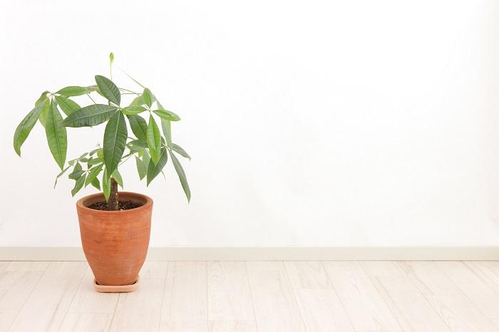 パキラは夏に大きく生長するので、切り戻しは春から初夏に行います。枝の途中の節のようになっているところが生長点です。生長点の少し上で切り戻します。2~3週間で新芽が出てきます。
